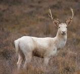 white_hart_stag_deer.jpg