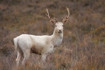 White_Hart_Stag_Deer
